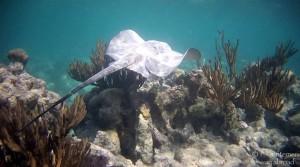 Una razza che nuota nella barriera corallina