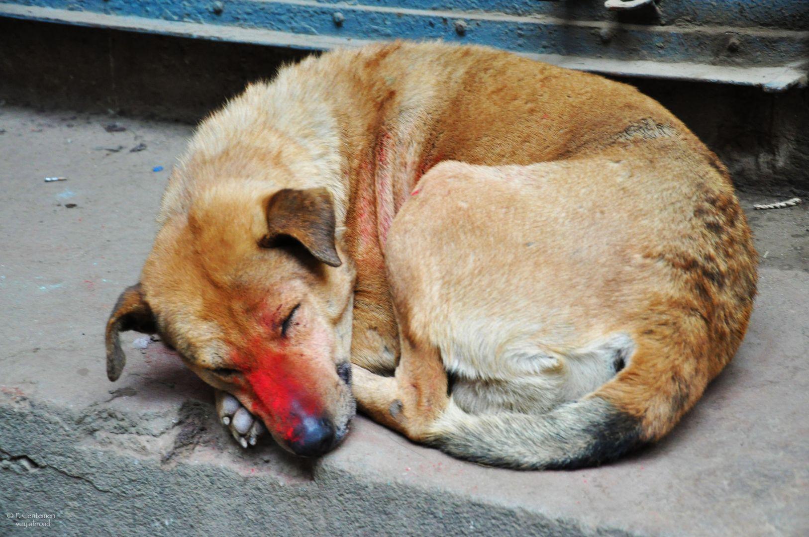 Un cane colorato con le polveri dell'Holi