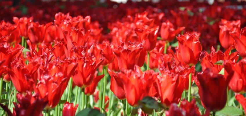 I tulipani di Istanbul