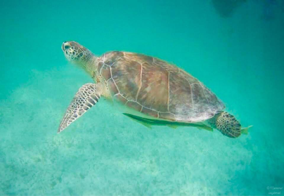 Nuotare con le tartarughe in Messico: la spiaggia di Akumal